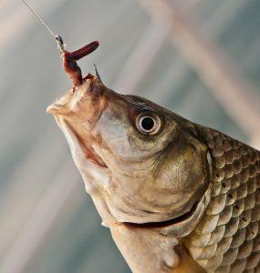 کرم ایزینیا فوتیدا ( خراطین ) خوراک ماهی